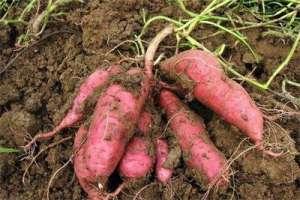 中德科学家揭示甘薯起源:开创多倍体复杂基因组分析的先河
