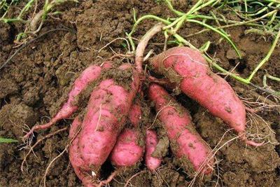 中德科学家揭示甘薯起源